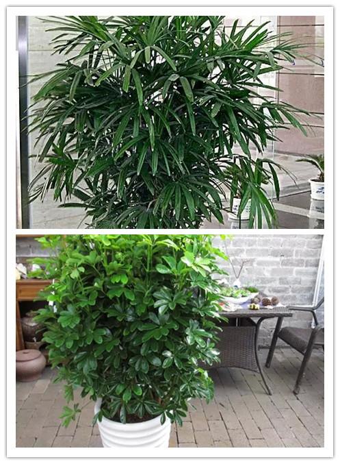 橡皮树基本处于生长停滞状态